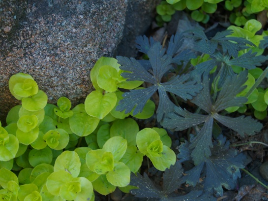 Geranium seedling sprouting through Creeping Jenny