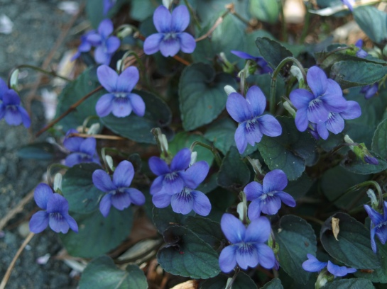 Purple leafed violets spread quickly