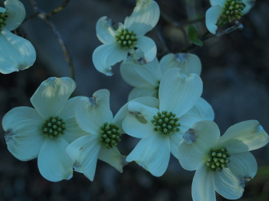 Dogwood in mid April