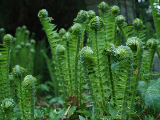 Fiddleheads of Ostrich ferns in late April