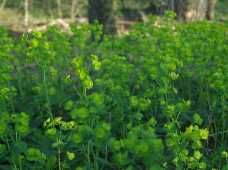 Robb's spurge in late April