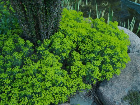 Threadleaf spurge in late April
