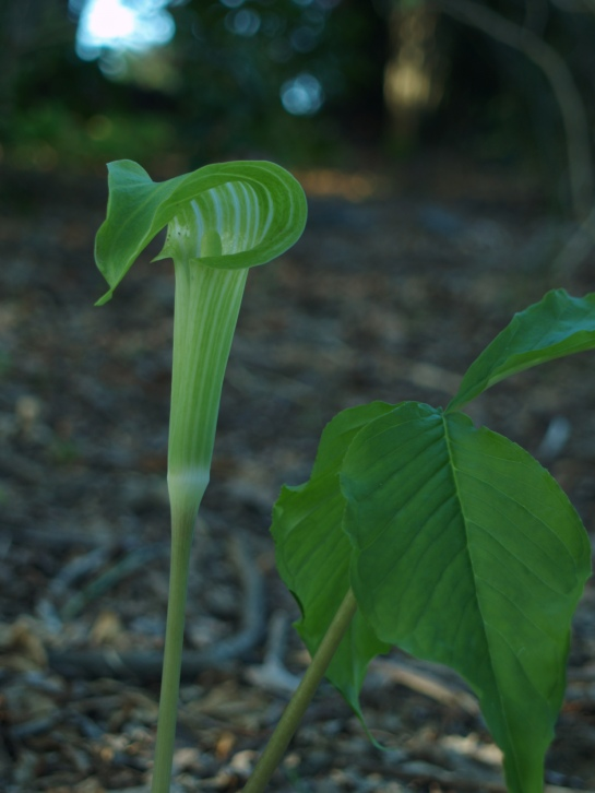 Jack in the Pulpit in late April