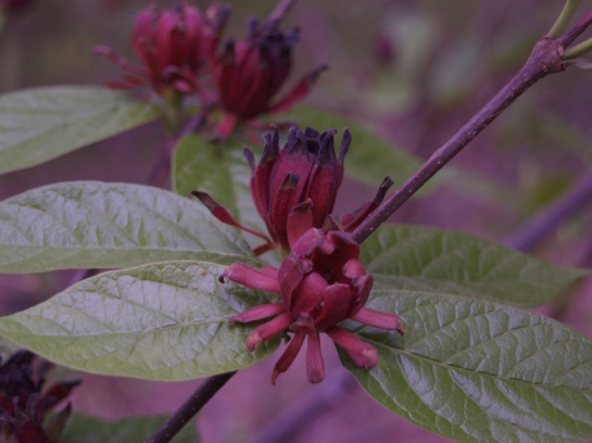 Sweetshrub in late April