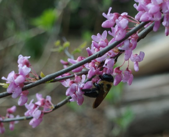 Redbud and bumblebee