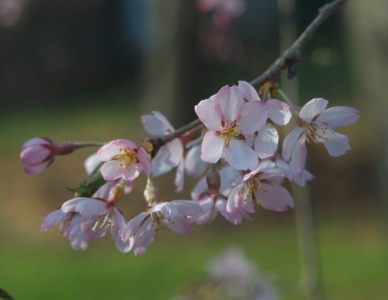 Weeping pink cherry in early April