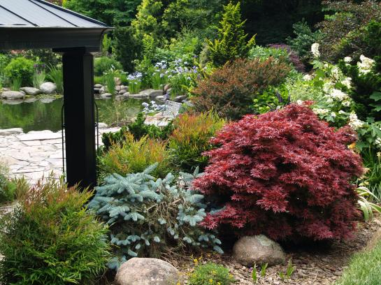 Shaina Japanese maple and weeping spruce