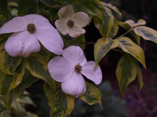 Celestial Shadow dogwood in early May