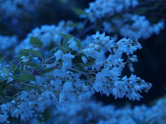Deutzia Nikko in mid May