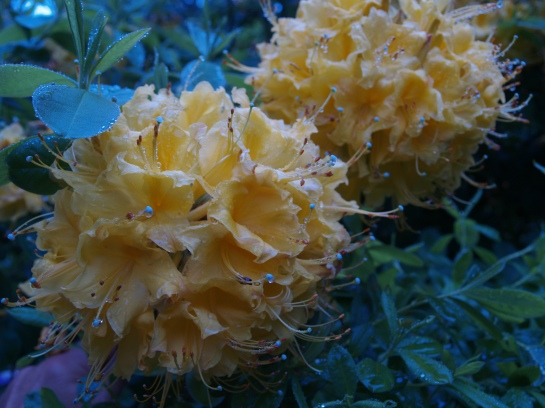 Exbury azalea flowering in mid May