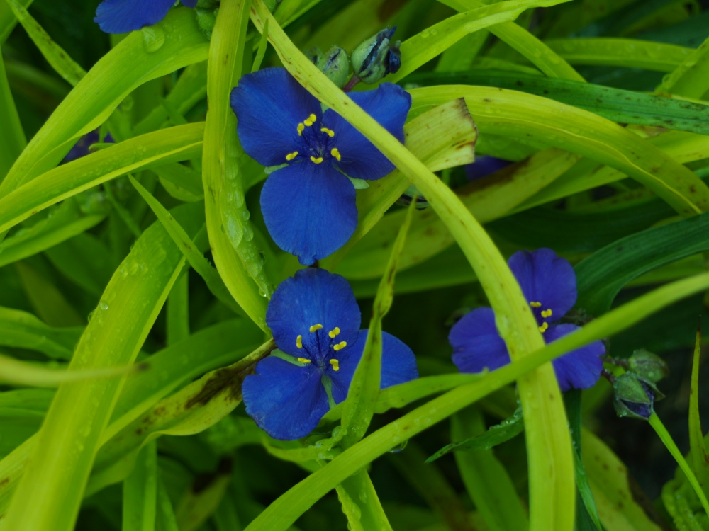 Sweet Kate spiderwort in mid May