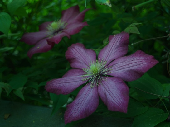 Jackmanii clematis in mid May