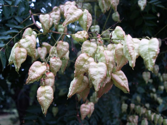 Golden Raintree seed pods
