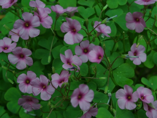 Pink wood sorrel in early June