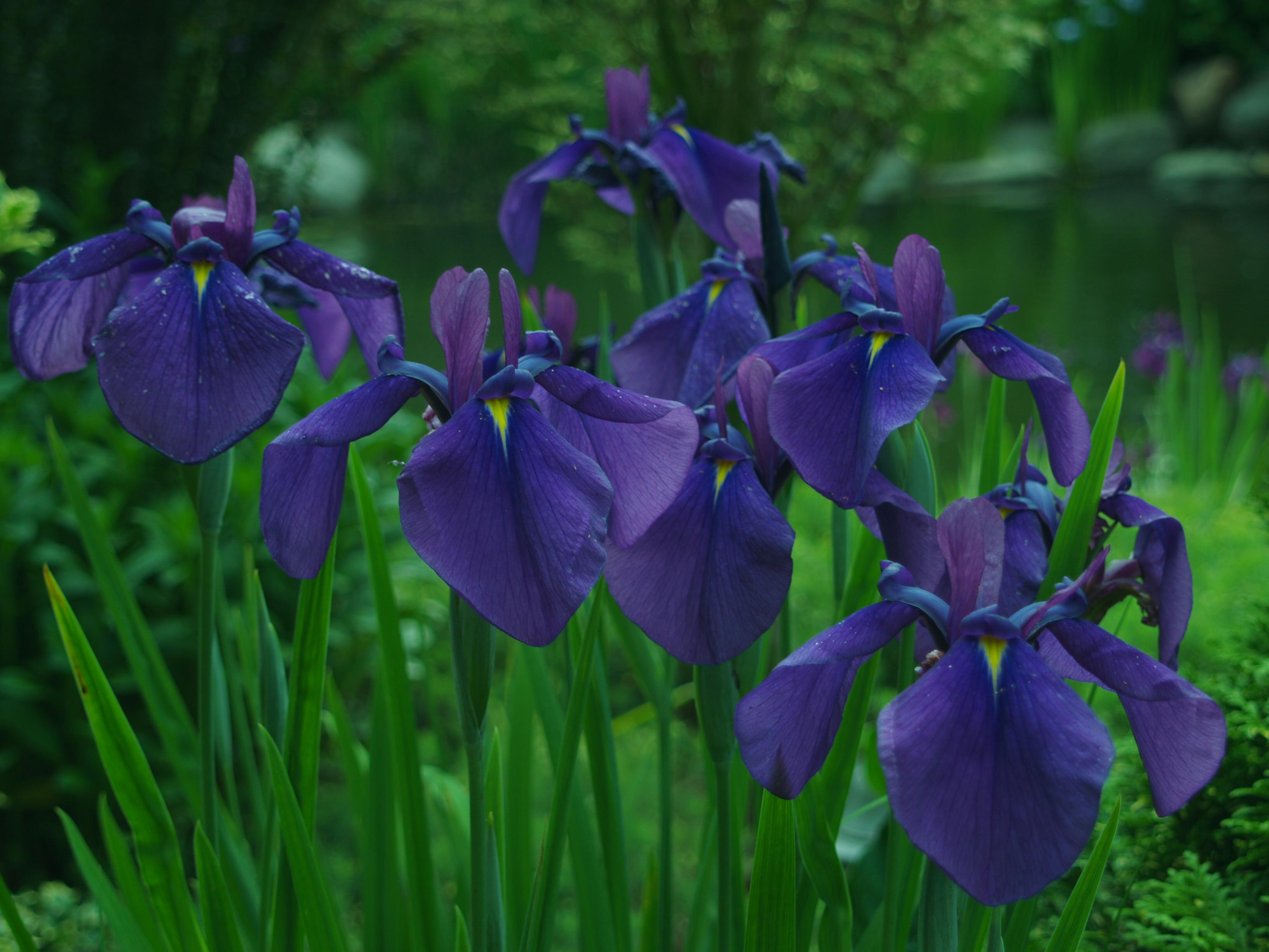 Japanese Irises Ramblin Through Daves Garden