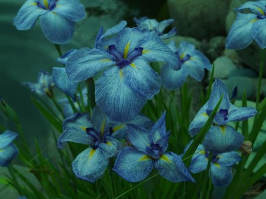 Japanese iris in early June