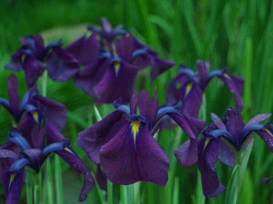 Variegated Japanese iris in early June
