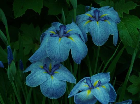 Japanese iris in ear;ly June