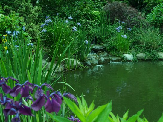 Japanese iris along the pond's edge