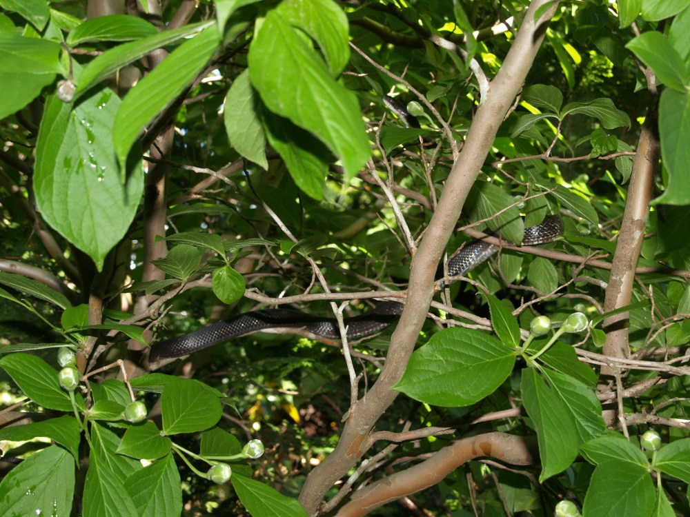 Snake in the stewartia