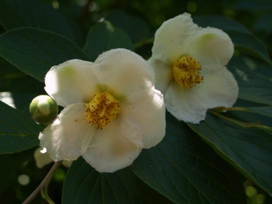 Stewartia flowering in mid June