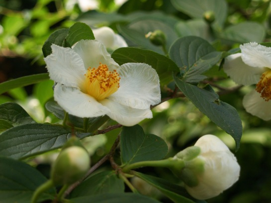 Stewartia in mid June