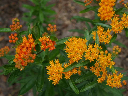 Butterfly weed in late June