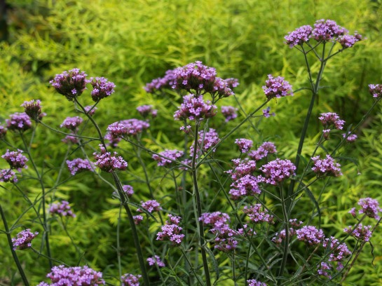 Verbena and Ogon spirea