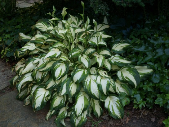 The mostly forgotten variety Medio-variegata hosta is still going strong after twenty years