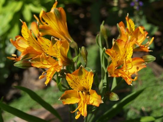 Alstroemeria Tangerine Tango in mid June