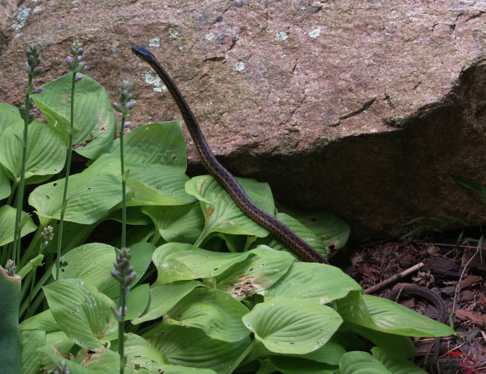 Snake by the front pond