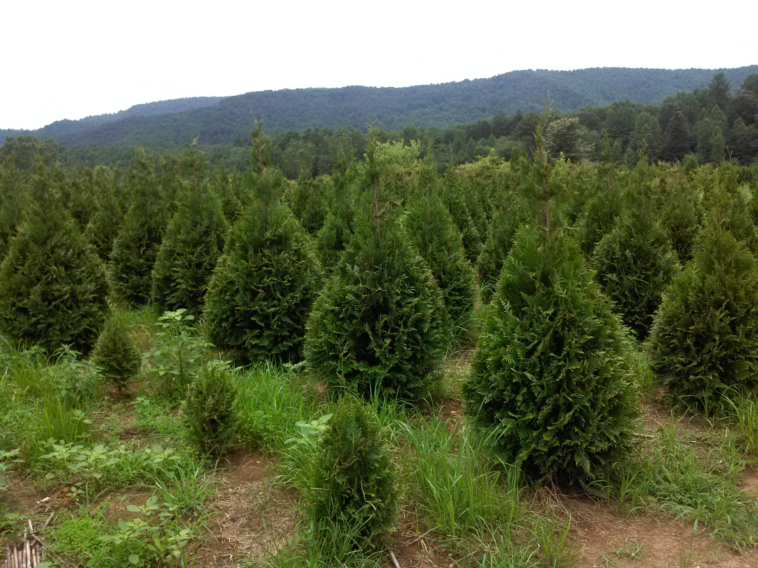 Bumping Through A North Carolina Tree Nursery Ramblin
