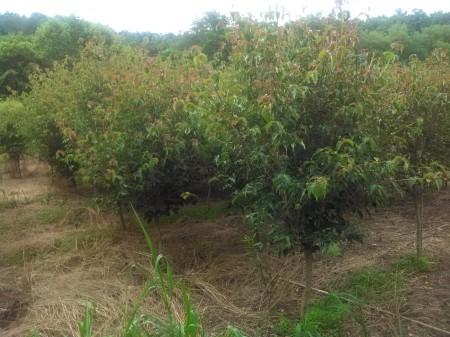Stellar Pink dogwoods in North Carolina nursery