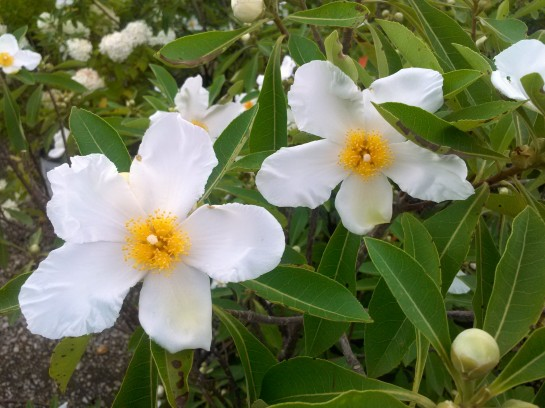 Gordlinia in bloom in mid July