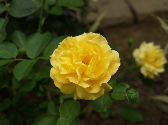 Julia Childs rose in late July