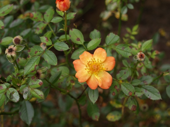 Oso Easy Paprika rose in late July