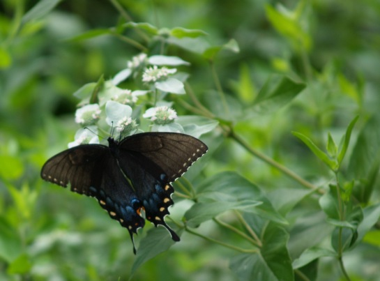 Tiger swallowtail on Mountain mint