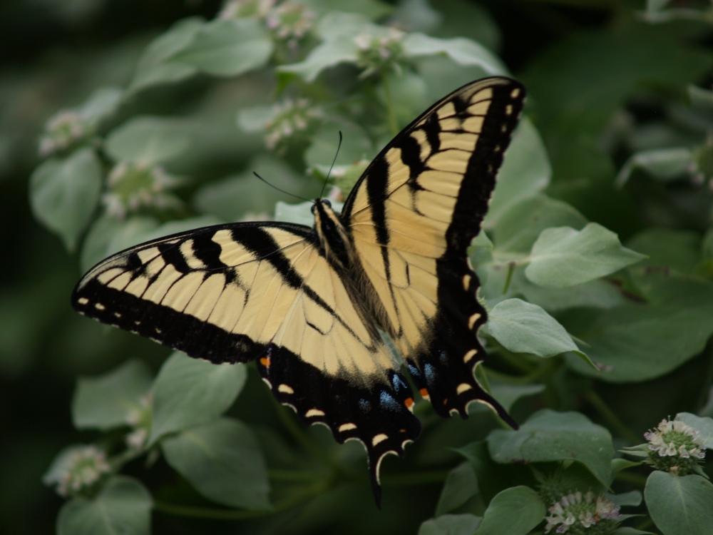 Butterfly on Mountain mint