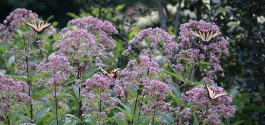 Joe Pye weed in July