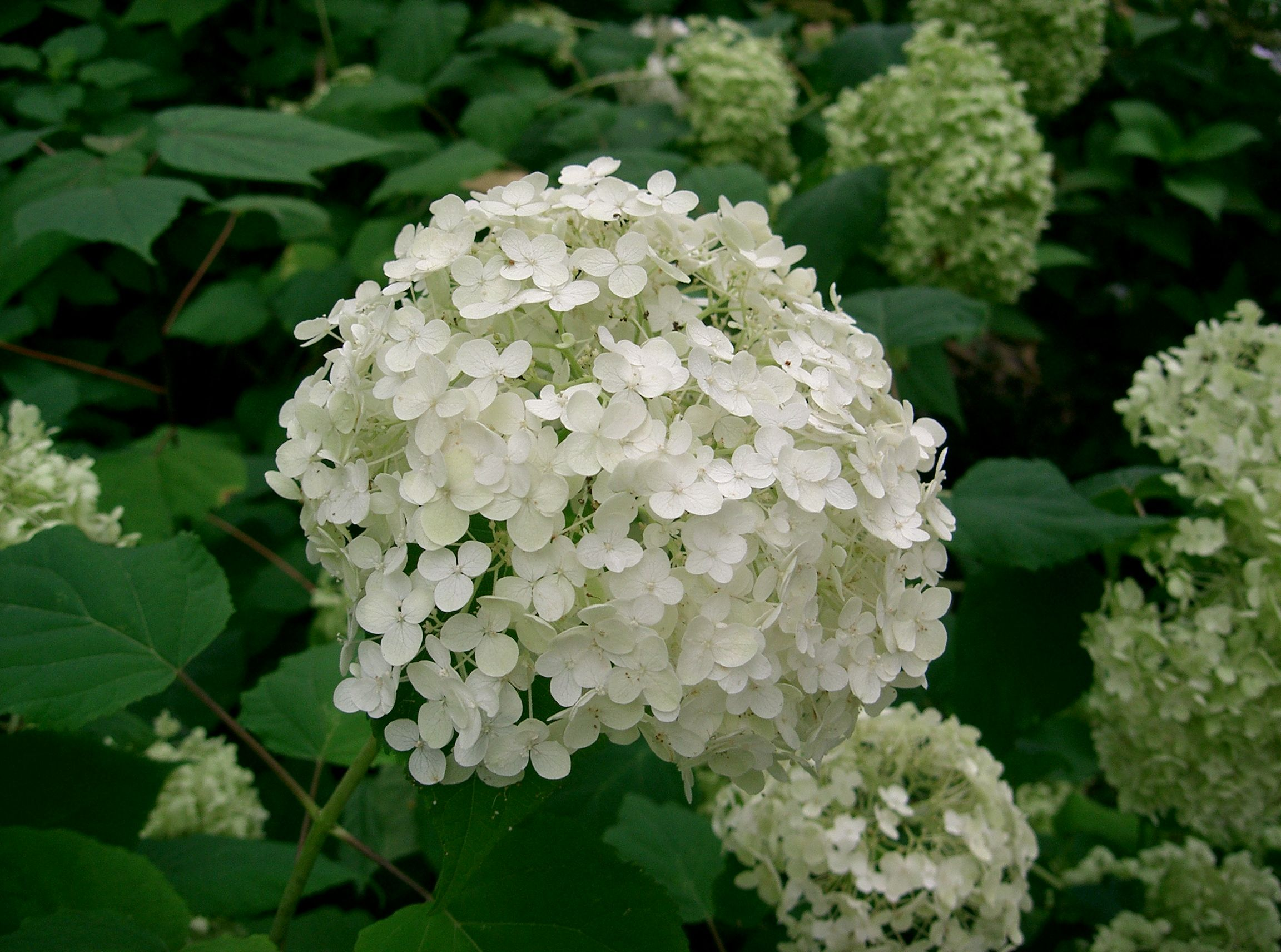 hydrangea annabelle ramblin 39 through dave 39 s garden