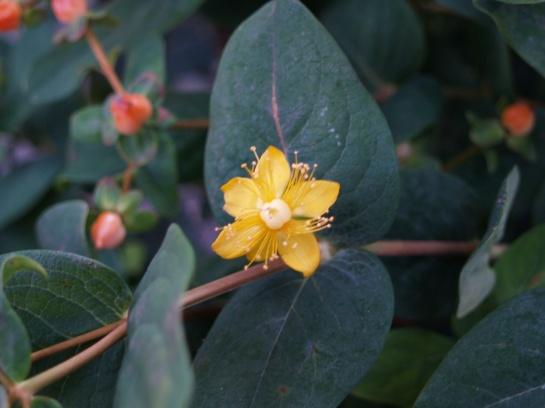 Pumpkin hypericum flower