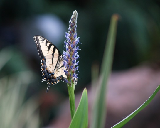 Tiger swallowtail on Pickerel weed