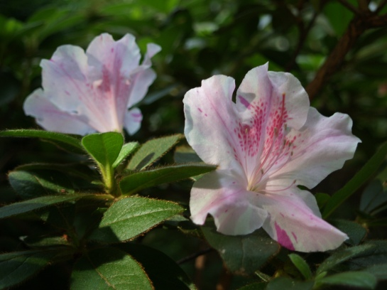 Encore Twist azalea in August