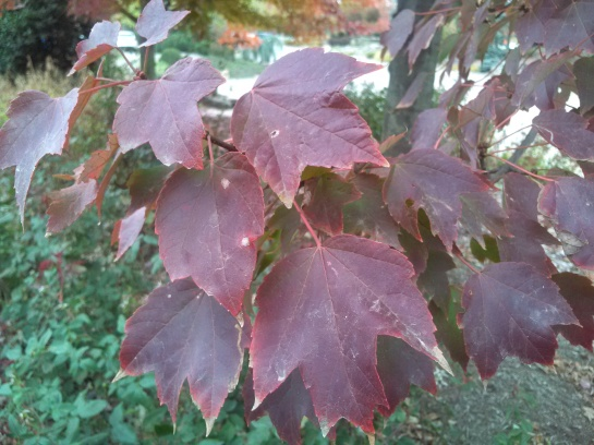 Red Sunset maple autumn foliage