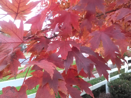 Autumn Blaze maple autumn foliage