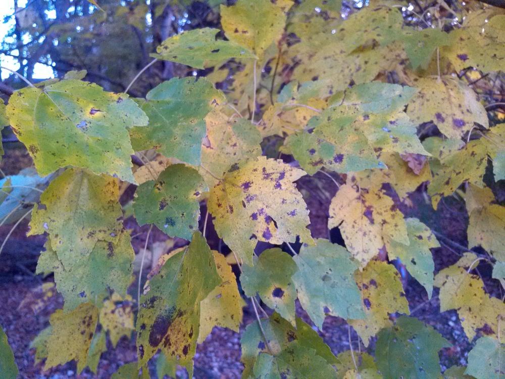 Native swamp maple autumn foliage