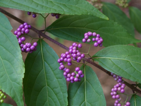 Beautyberry in late September