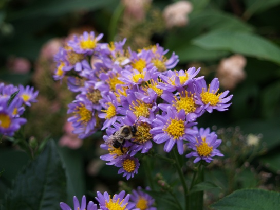 Jindai aster in October