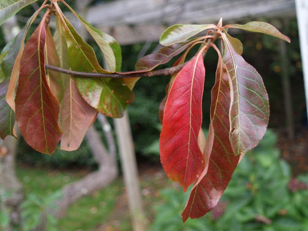 Franklinia in October