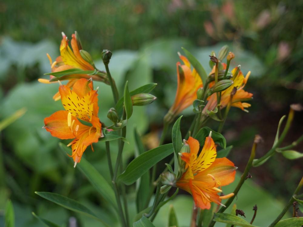 Tangerine Tango Peruvian lily